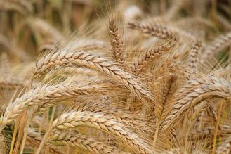 agriculture-barley-cereal-326082