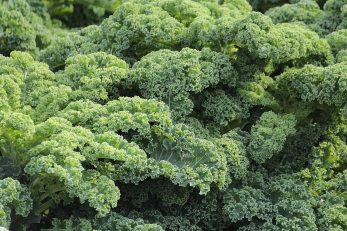cabbage-flora-food-51372