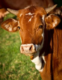 beef-brown-bull-51311
